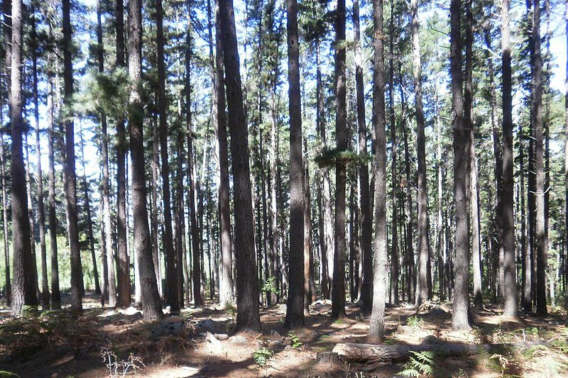 800px-pine_trees_planted_for_timber_at_newlands_forest_cape_town_3